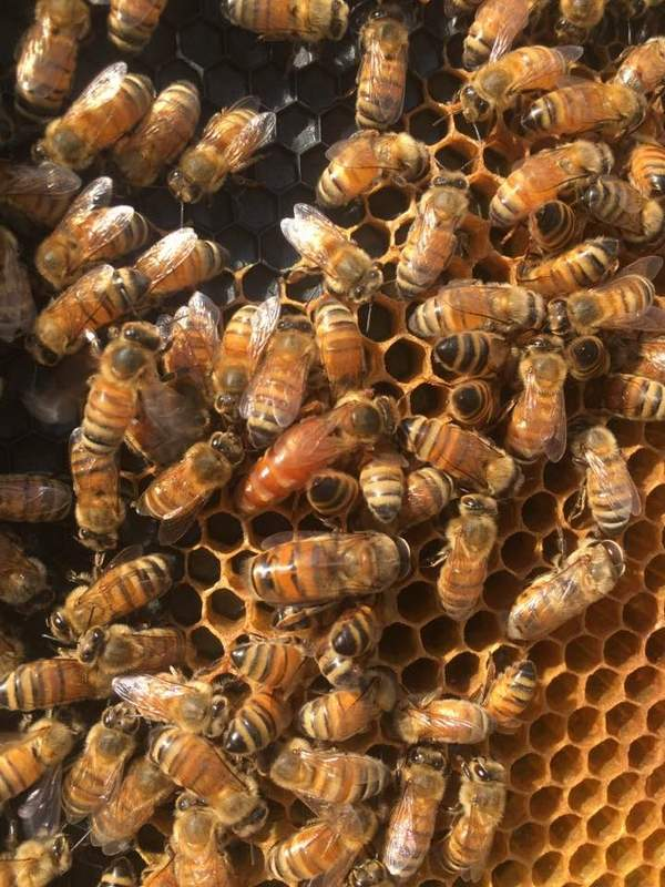 The queen, pictured here in the center of the hive, is the only female with fully developed ovaries. Her primary purposes are to produce chemical scents that help regulate the unity of the colony and lay lots of eggs. Only one queen lives in a given hive.