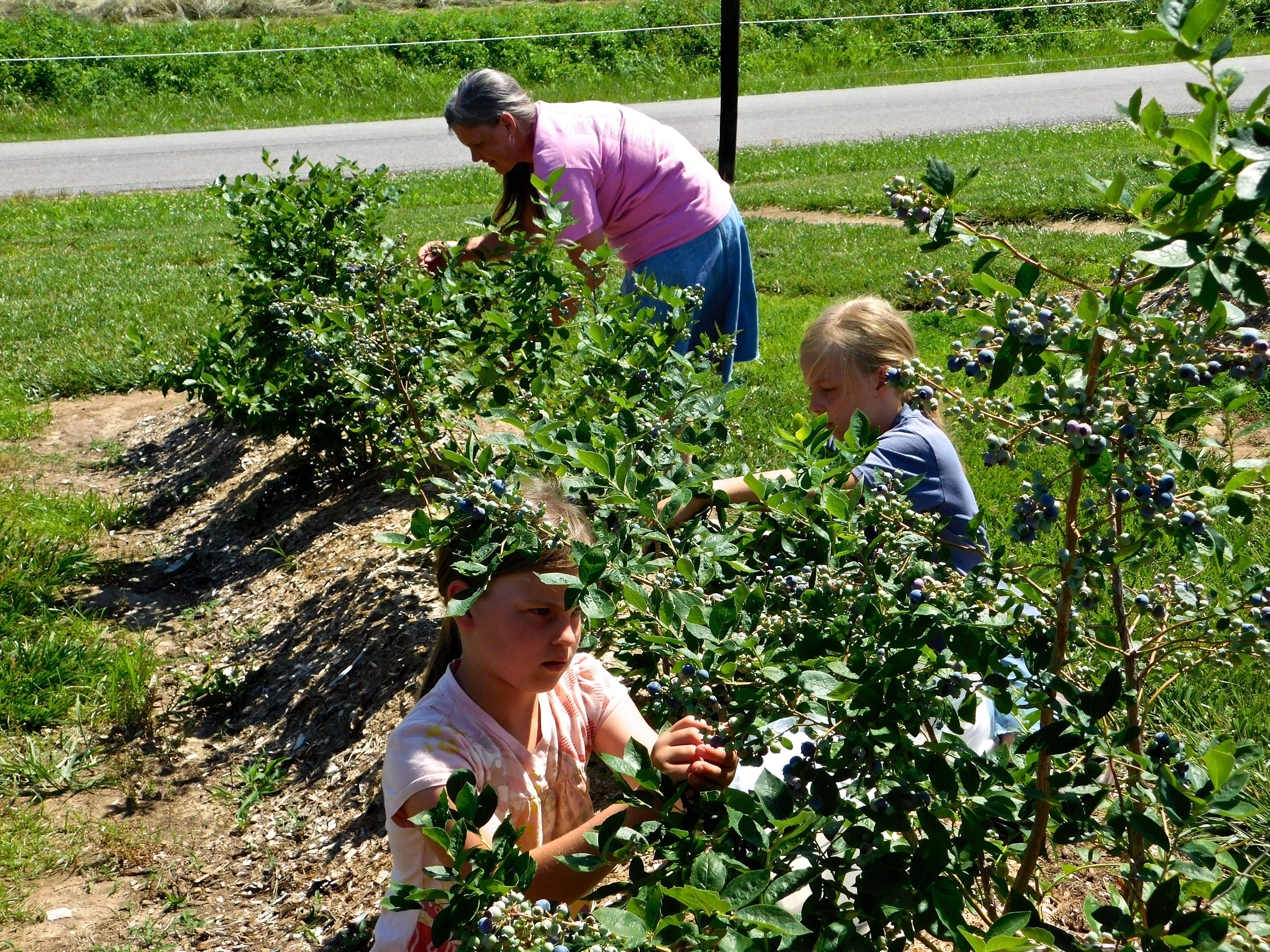 Twins Shoshana (front) and Lilliana helped their mother, Krista, pick blueberries last week at Miller Farms. Owner John Miller and his family added an acre of blueberries to the 1.5 acres of strawberries to their Campbell Hill farm last year. The family also operates a grocery store on the property.