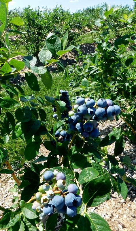 Miller Farms owner John Miller and his family planted seven varieties of blueberries.  The family's efforts in fighting an unusual warming trend in March followed by temperatures that dipped to 15 degrees were successful. 'These plants will last my lifetime,' Miller said of his blueberry plants.