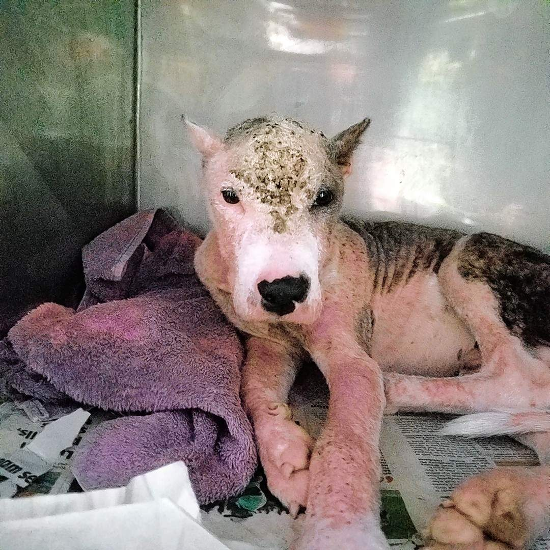 """""""This guy has the non-contagious version of mange, which has obviously gone untreated for a very very long time,"""" said Dr. Kay Creece. """"We can't even tell you what color he is supposed to be. He is still just as sweet as white pie!  We have named him Sam Houston."""""""