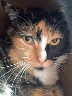 Mittens is a shy calico up for the adoption.
