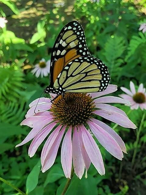 A monarch butterfly lands on a flower.