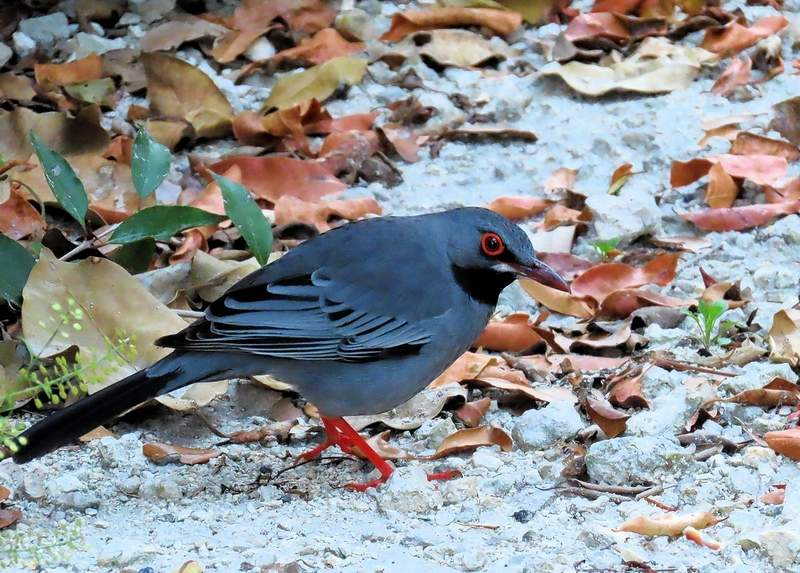 A Red-legged Thrush, photographed by Henry Detwiler in Florida in 2019. Detwiler's discovery is the second U.S. record occurrence of the species.