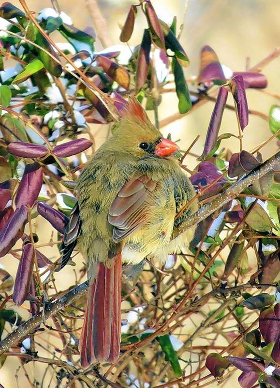 A female cardinal perches on a branch in a mix of colorful vegetation.