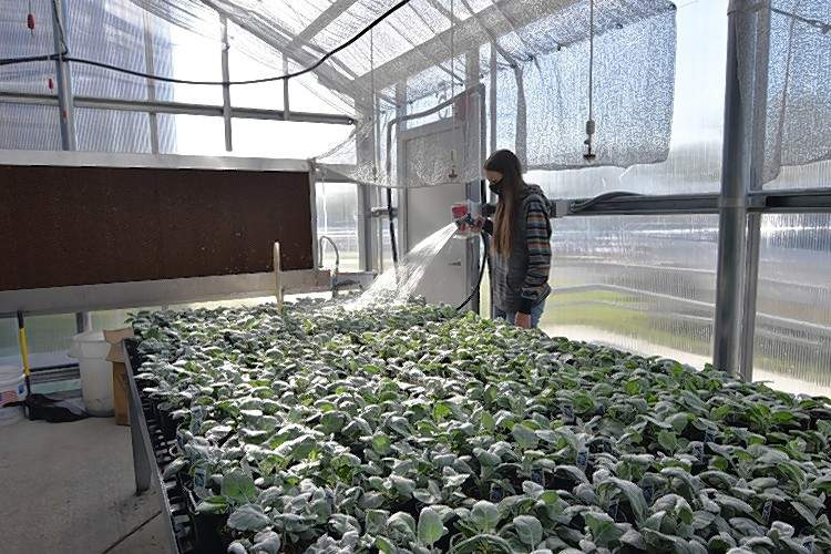 Harrisburg FFA Vice President Autumn Rain Harrawood waters a selection of Dusty Millers in the greenhouse.