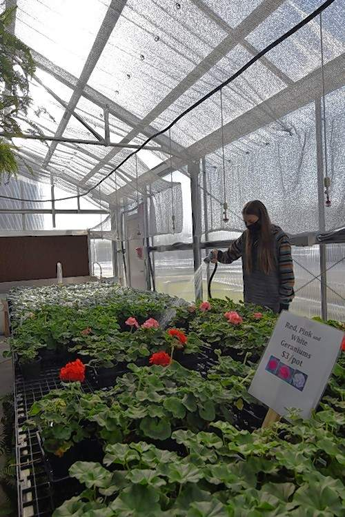 Harrisburg FFA Vice President Autumn Rain Harrawood waters geraniums in the greenhouse.