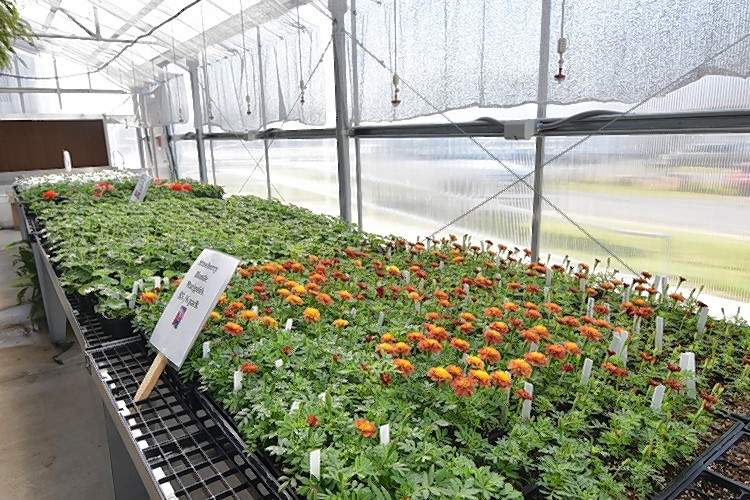 Marigolds are among the selection for the Harrisburg FFA annual plant sale.