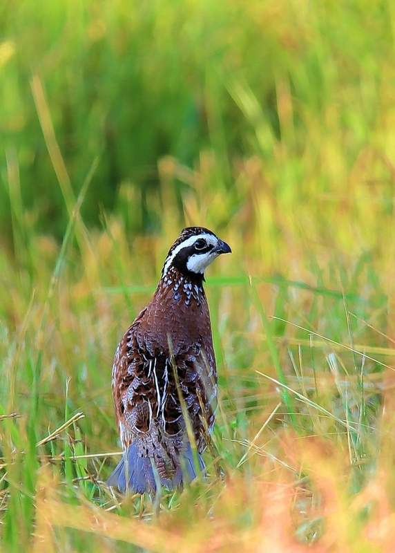A northern bobwhite quail stops for a second at Pyramid State Recreation Area.